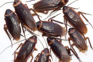 extermination coquerelles blattes et cafards montr al exterminateurs associ s. Black Bedroom Furniture Sets. Home Design Ideas
