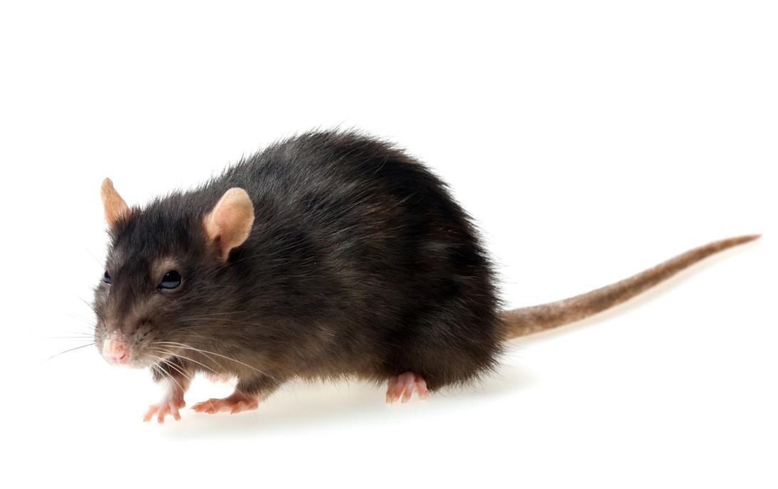 Extermination rat Montréal - Exterminateurs Associés