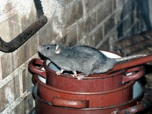 Extermination souris et rats Montréal